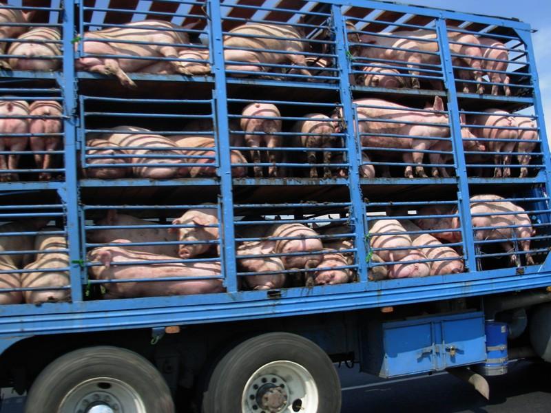 vuelos low cost bajo coste cerdos